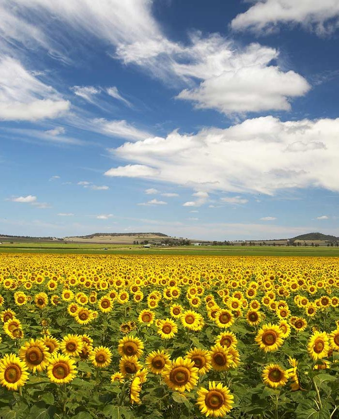 central-highlands-sunflowers-feature